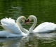 А говорят, что лебеди лишь парами, И есть черта, не свойственна для птиц, Когда один, устав...